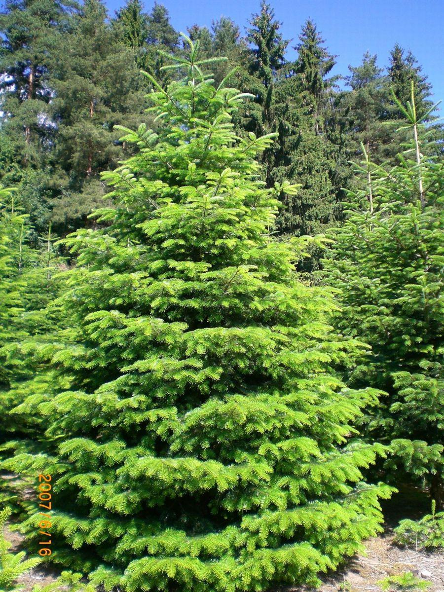 Leasing Weihnachtsbaum.Christbaum Geyer